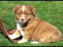 australian shepherd breeders southern california australian shepherd mix puppies collection of pictures and breed