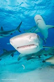 open wide go inside the of a tiger shark sharks earth