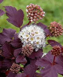 buy ornamental shrubs now common ninebark andré bakker