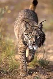 rare cat wallpapers 1020 best lynx images on pinterest lynx big cats and wild animals