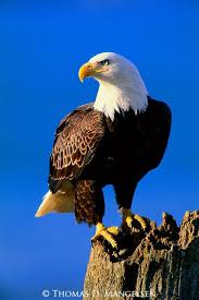 best 25 pictures of bald eagles ideas on eagles bald
