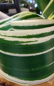 leaf ribbon aspidistra leaf 4 ribbon green 50 yards