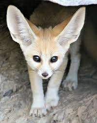 fennec fox zooborns
