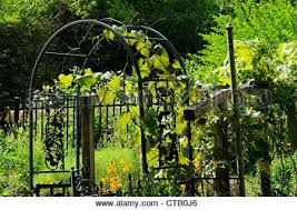 Growing Grapes Trellis Home Grown Grape Vines And Trellis In Hillside Backyard Stock