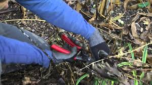 in fall how to prune perennials and hydrangea in fall youtube