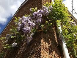 wisteria u2013 sunil u0027s garden