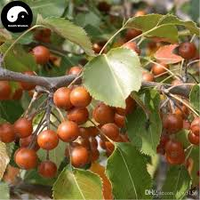 2018 buy bean pear tree seeds plant fruit callery pear grow