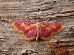 126 best moths are pretty images on butterflies