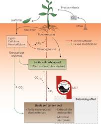 the importance of anabolism in microbial control over soil carbon