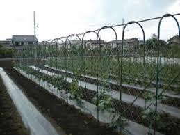 Cucumber Spacing On Trellis Japan Farmers Markets Cucumber Trellis Reprise