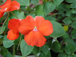 Plants That Don T Need Natural Light by Impatiens Flowers Tips For Growing Impatiens