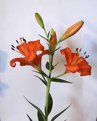 Asian Lilies Die Besten 25 Asian Lilies Ideen Auf Pinterest Lilien Lilie