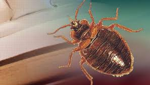 Kansas how do bed bugs travel images Home infested by bed bugs after buying sofa from thrift store jpg