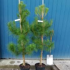pinus radiata conifer monterey pine trees for sale