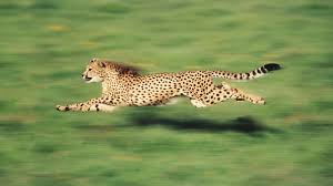 the fastest animal on earth is not a cheetah