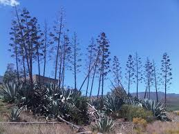 agave americana not indigenous to south africa also known by its