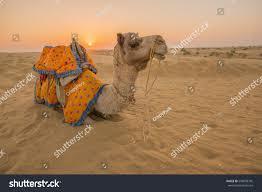 thar desert rajasthan travel background indian camel camel stock photo