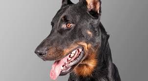 belgian shepherd vs husky beauceron dog breed information american kennel club