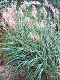tall grasses to plant grass decorations inspirations