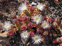 file unk desert flower 2 jpg wikimedia commons