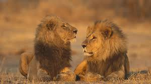 male lion wallpapers african animals games lions wallpaper allwallpaper in 13432