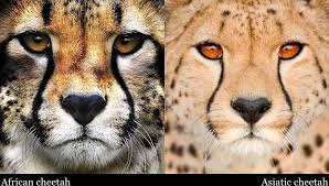 affectionate cheetahs wallpapers african and asiatic cheetah by legend tony980 deviantart com on