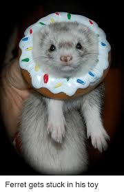 Ferret Meme - ferret gets stuck in his toy ferret meme on me me