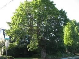 maple tree symbolism the world s tree species norway maple acer platanoides l