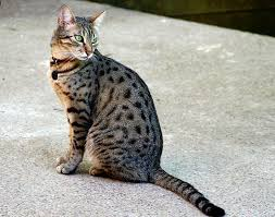 10 most popular cat breed pictures