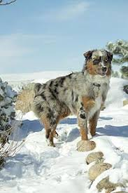 movies with australian shepherds in them miniature australian shepherd breeders u0026 australian shepherd dogs