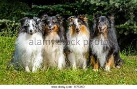australian shepherd quad cities shetland sheep dog stock photos u0026 shetland sheep dog stock images