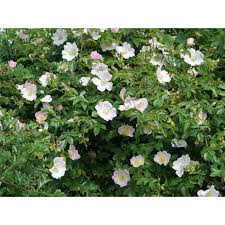 plants native to uk dog rose native hedge plant wiggly wigglers