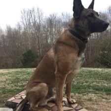 belgian shepherd nc shea 9 dog training pet training winston salem nc phone