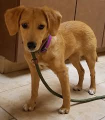 affenpinscher illinois palatine il beagle meet lila a dog for adoption