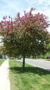 what are those flowering trees bushes i drive by every day