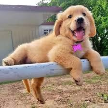 accounting resume exles australian kelpie lab 3989 best puppies images on pinterest animal babies