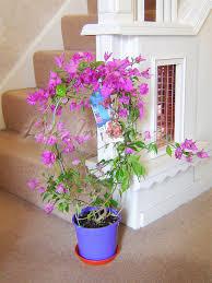 bougainvillea purple flower hoop tree in pot climbing garden plant