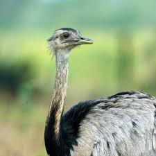 greater rhea national geographic