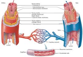 blood vessels types blood vessels carry blood from heart