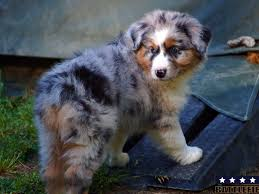 australian shepherd kennel size battlefield aussies and miniature american shepherds puppies for