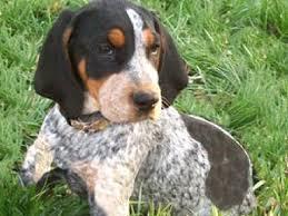 bluetick coonhound youtube 23 best bluetick puppies images on pinterest bluetick coonhound