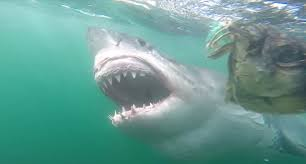 great white shark cage diving cape town youtube