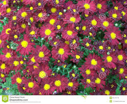 red yellow mums or chrysanthemums stock photo image 61969911