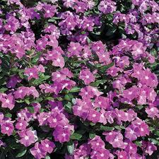 vinca flower proven winners cora lavender vinca catharanthus live plant