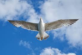 Bird Wing - free photo seagull bird wing blue nature free image on