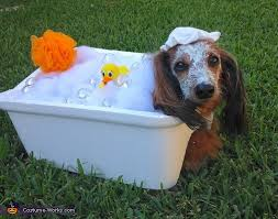 Halloween Costumes Miniature Dachshunds Bubble Bath Costume Bubble Baths Dachshunds Bubbles