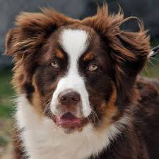 buy a australian shepherd my australian shepherd is very aggressive and i need help