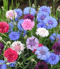 bachelor buttons annual bachelor button polka dot mix 117 bestcoolseeds