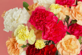 carnations the flower of the gods