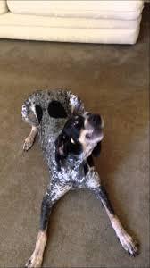 bluetick coonhound fun facts bluetick coonhound tricks youtube